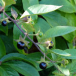 Atropa belladonna - A Plant of Fate and Witches